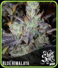 Blue Himalaya - Short Stuff Seeds