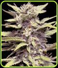 Blueberry Gum - G13 Labs Seeds