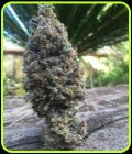 CBD Amnesia - CBD Seeds