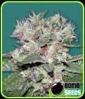 CBD Bomb - Bomb Seeds