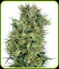 Cali Orange Bud - White Label Seeds
