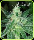 Cheese # 1 - Kaliman Seeds
