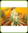 Chem #4 x OTM #1 - Mosca Seeds