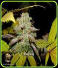 Choke Berry - Blazing Pistileros Seeds