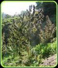 Colombia Mangobiche - Cannabiogen Seeds