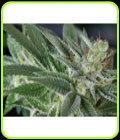 Dakini Kush - Centennial Seeds