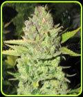 Devil Fruit - Medical Seeds