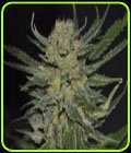Domina - CBD Seeds