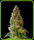 Dragon's Breath - Simply Female Seeds