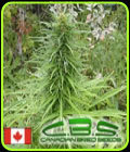 Early Sativa - Canadian Bred Seeds