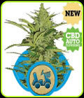 Fast Eddy Automatic - Royal Queen Seeds