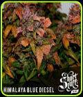 Himalayann Blue Diesel - Short Stuff Seeds