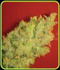 Jack La Mota - Medical Seeds