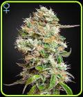 King's Kush Auto CBD - Green House Seeds