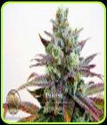 Krakatoa - Blazing Pistileros Seeds
