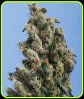Kushage - TH Seeds