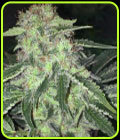 LA S.A.G.E. CBD - TH Seeds