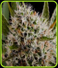 Lithium OG Kush - Nirvana Seeds