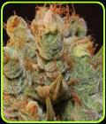 MK Ultra Kush x BubbleGum - TH Seeds