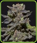 Magma - CBD Seeds