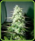 Maramota #10 - Blazing Pistileros Seeds