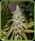 Mau-Mau - Blazing Pistileros Seeds