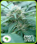 Mozambica - Seeds of Africa