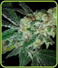 Pink Gorilla - Mosca Seeds