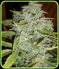 Psychofruit Auto - Cream of the Crop