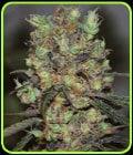 Purple Paralysis - Cream of the Crop