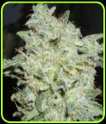 SALE - Afghan Kush Special
