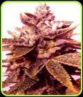 SALE - Sour Black Berry Diesel