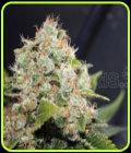 Sour Diesel - Medical Seeds