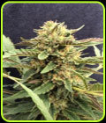 CBD Therapy - CBD Crew Seeds
