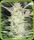 White Widow - Medical Seeds