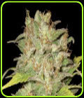Widow - CBD Seeds