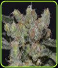 Zen - CBD Seeds