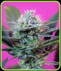 SALE - + Speed - Sweet Seeds - Cannabis Seed Sale Items