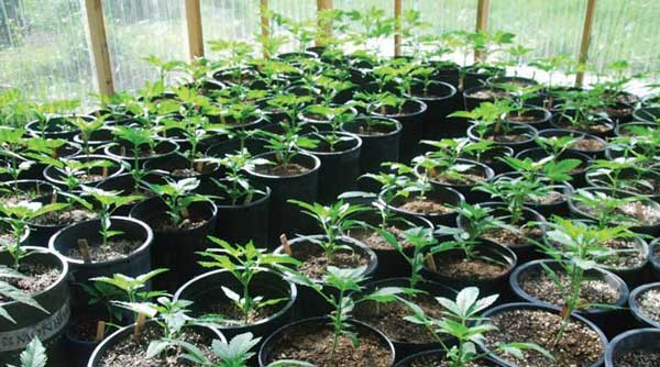 Best Cannabis Seed Breeders