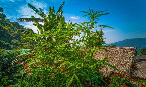 购买泰国大麻种子