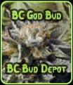 BC Bud Dios - BC Bud Depot