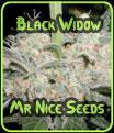 Negro Widow - Mr Nice Seeds