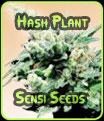Hash Plant - Sensi Seeds