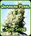 Jamaican Pearl - Semillas Sensi