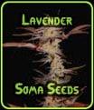 Lavender - Soma Seeds