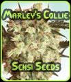 Sensi Seeds - collie de Marley