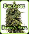 Blue Cheese Barneys Farm