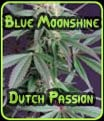 Blue Moonshine Dutch Passion