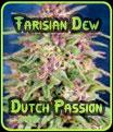 Rocío Farisian Dutch Passion