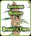 Buda de risa Barneys Farm